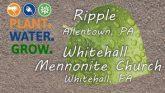 ripple-whitehall